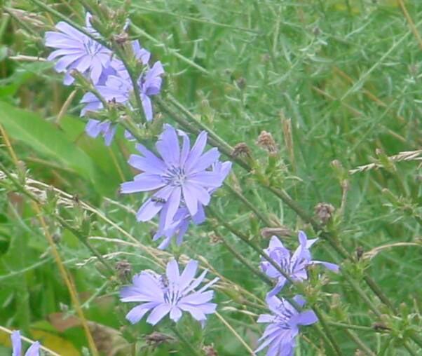 Violetblue flowers chickory mightylinksfo