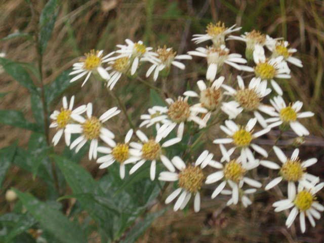 White wood aster flat topped white aster doellingeria umbellatus syn aster umbellatus 2 7 ft found in thickets and along edges yellow central disk turns purple with mightylinksfo