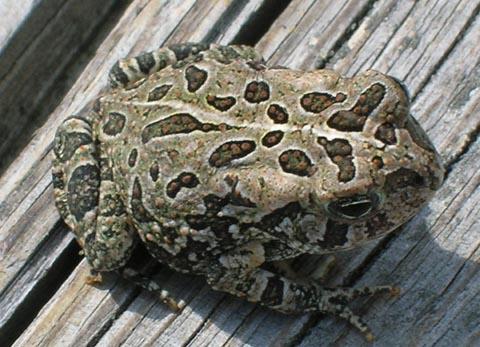 Fowlers Toad vs American Toad Fowler 39 s Toad Bufo Fowleri