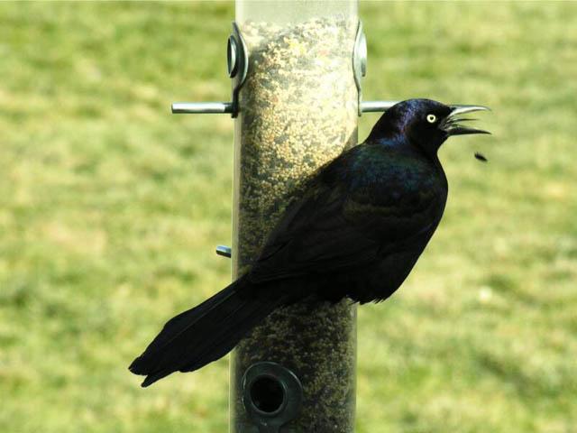 common grackle flight. 2010 2010 common grackle