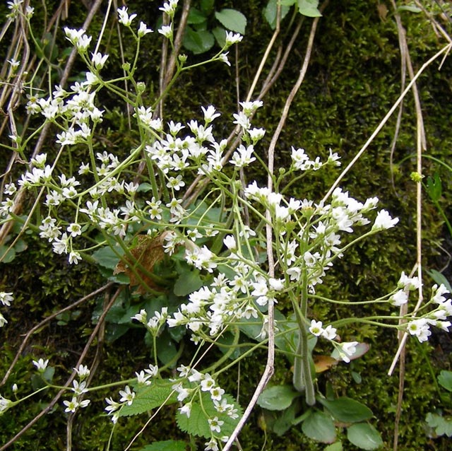White wood aster mountain sandwort arenaria groenlandica similar to chickweed but with only slightly notched petals photo by dimitri tundra mightylinksfo