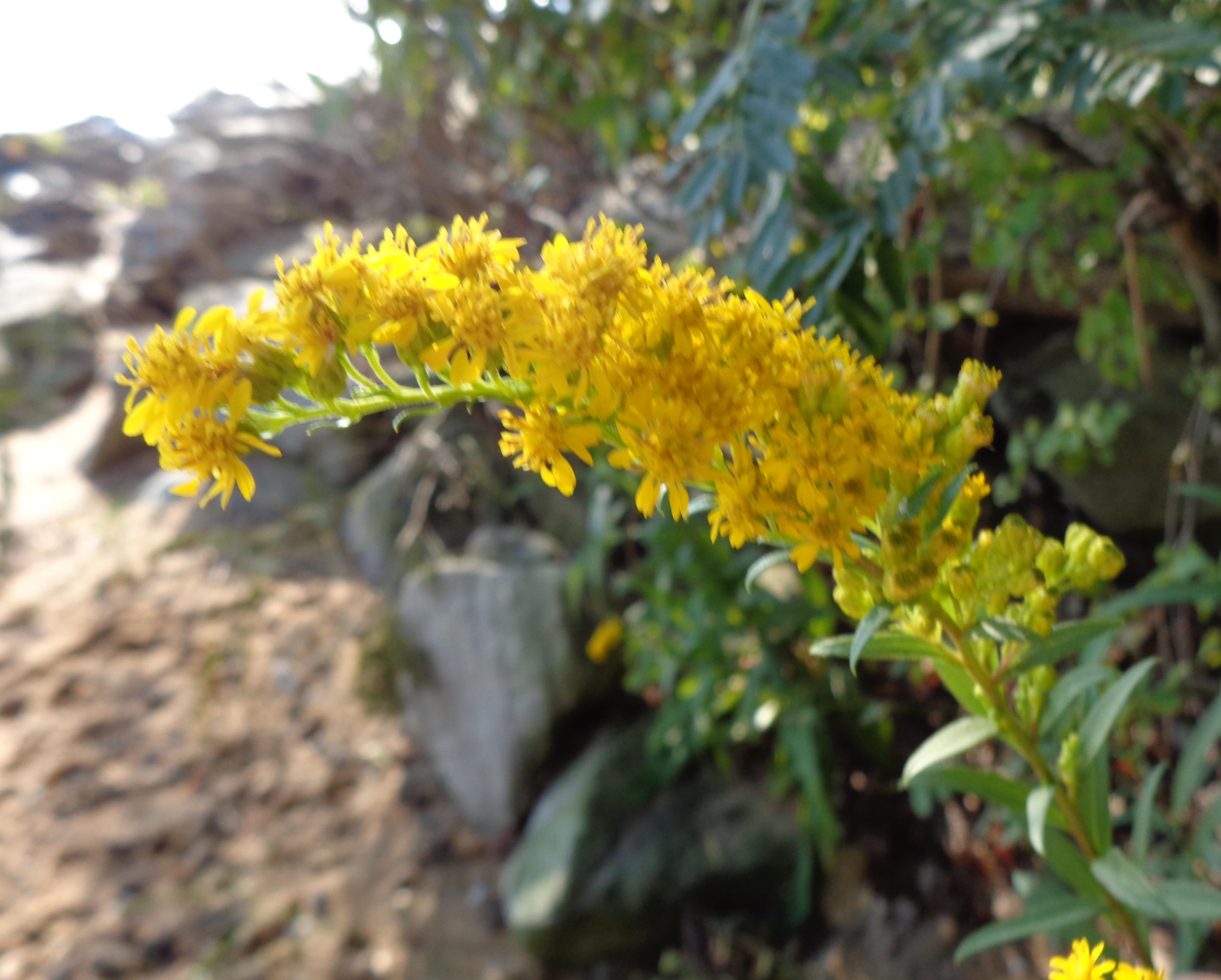 seaside goldenrod-1