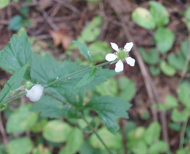 White flowers white avens geum canadense upright plant 1 to 2 feet simple 5 petal flower similar to black berries upper leaves single irregular shaped mightylinksfo