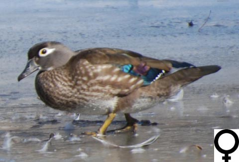 wood duck aix sponsa the has nearly every color