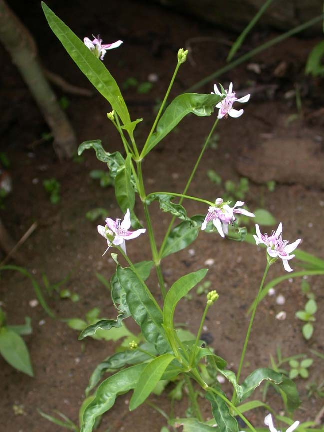 Aquaticbog flowers american water willow justicia americana small white flowers with orchidpurple markings grows along banks of streams rivers and lakes mightylinksfo