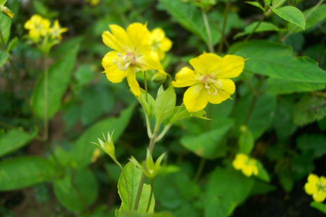 Yellow flowers celadine chelidonium majus blooms may june can grow to 18 inches location at in snp va mightylinksfo
