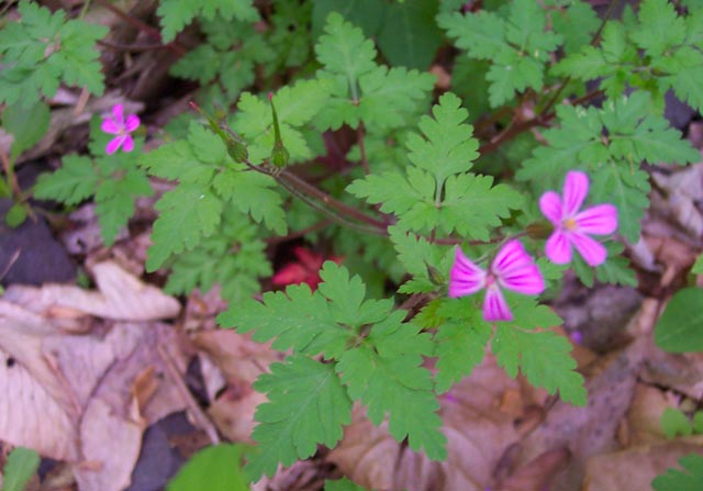 Pinkfuchsia flowers herb robert geranium robertianum small paired delightful flower with darker lines on the petals blooms may to october location jeremys run tr mightylinksfo