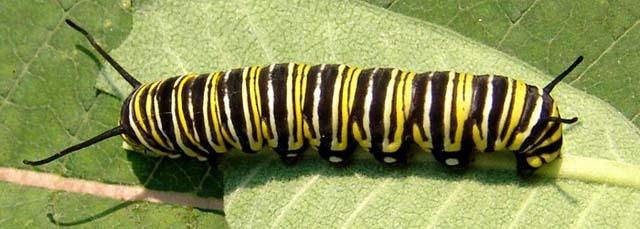 Butterflies Moths And Caterpillars