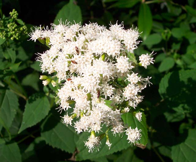 4 white snakeroot eupatorium rugosum grows in thickets in shadey woods heart shaped toothed leaves with stems location canaan mt clr13 mightylinksfo